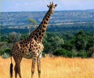 Giraffes-dont-exist