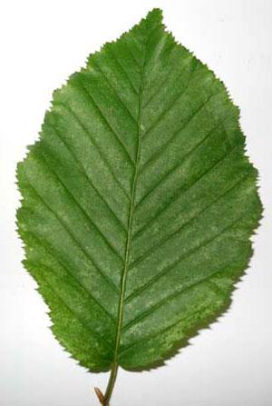 Hornbeam-leaf