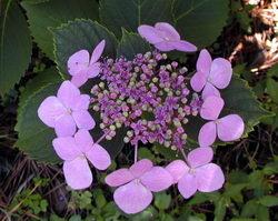 Hydrangea macrophylla normalis