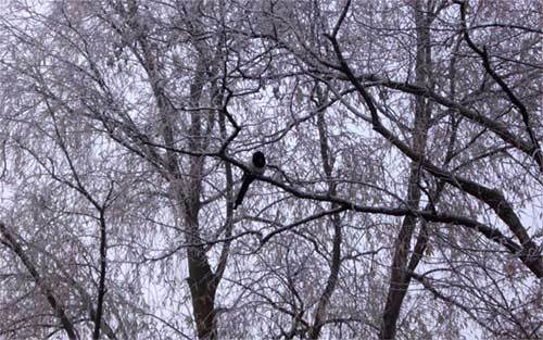 Blacksnowbird
