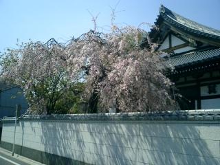 Sakura_2006_001